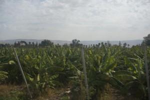 Pokok pisang yg banyak di tanam sepanjang perjalanan ke Palestin.